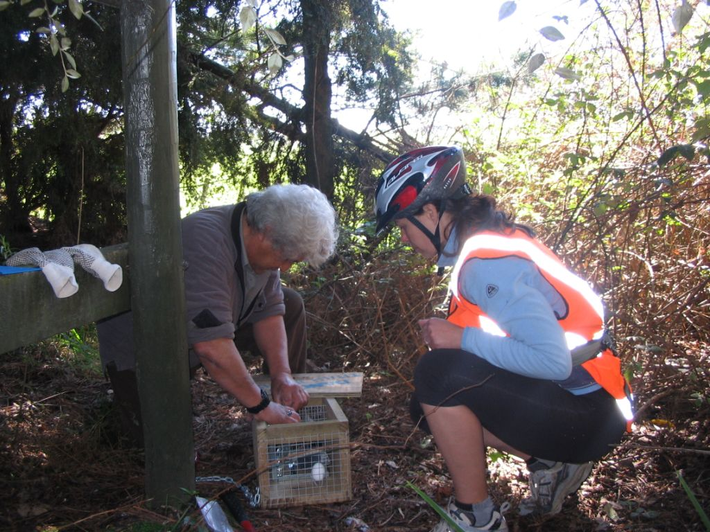 Setting traps along the Tongariro River